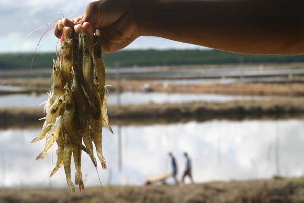Resultado de imagem para produção de camarão no RN